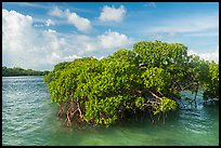 Mangrove and clear water, Swan Key. Biscayne National Park ( color)