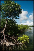 Tall mangrove tree, Swan Key. Biscayne National Park ( color)