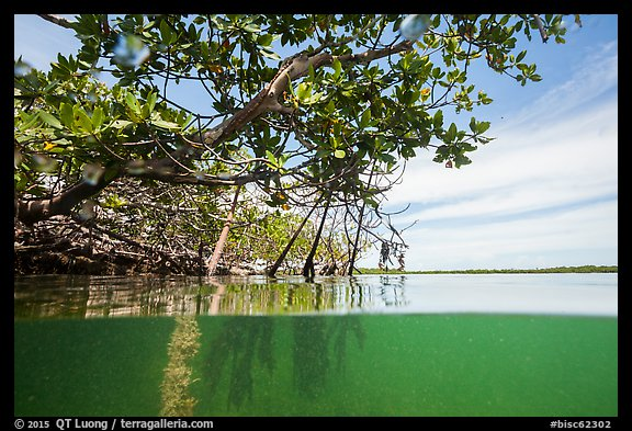 Above and below water view at the edge of the mangal. Biscayne National Park (color)