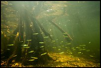 Underwater view of fish and mangrove roots, Convoy Point. Biscayne National Park ( color)