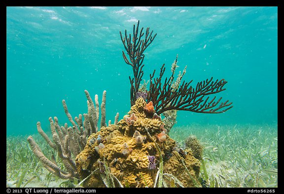 Coral and seagrass, Garden Key. Dry Tortugas National Park (color)