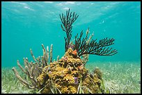 Coral and seagrass, Garden Key. Dry Tortugas National Park ( color)
