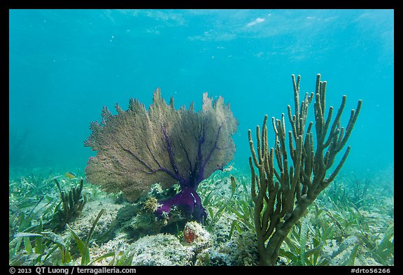 Fan coral and Sea Rod, Garden Key. Dry Tortugas National Park (color)