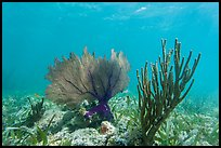 Fan coral and Sea Rod, Garden Key. Dry Tortugas National Park, Florida, USA. (color)