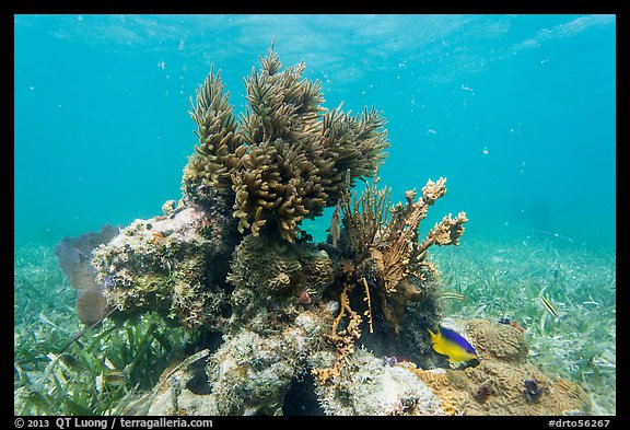 Sea Plume Corals and juvenile Cocoa Damsel, Garden Key. Dry Tortugas National Park (color)