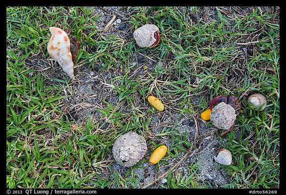 Hermit crabs and palm tree nuts. Dry Tortugas National Park (color)