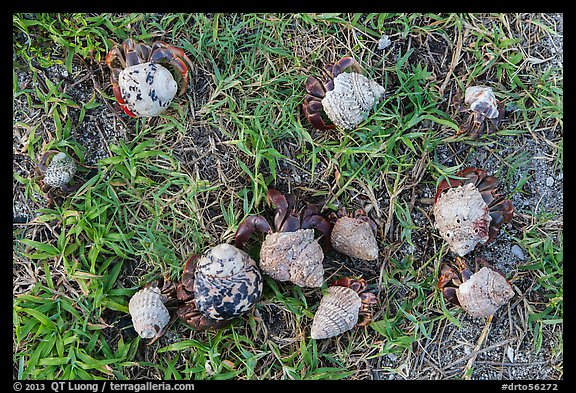 Cluster of hermit crabs on grassy area, Garden Key. Dry Tortugas National Park (color)