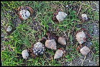 Cluster of hermit crabs on grassy area, Garden Key. Dry Tortugas National Park ( color)
