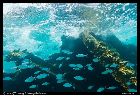 School of Bermuda Chubs, Avanti wreck, and surge. Dry Tortugas National Park (color)