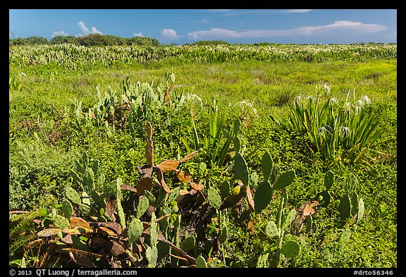 Prickly Pear cactus, Loggerhead Key. Dry Tortugas National Park (color)