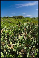 Cactus and geiger trees, Loggerhead Key. Dry Tortugas National Park ( color)