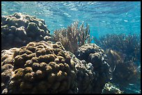 Coral in shallow reef, Little Africa, Loggerhead Key. Dry Tortugas National Park, Florida, USA. (color)