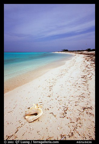 Conch shell and sandy beach on Bush Key. Dry Tortugas National Park (color)