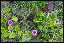 Ground view with flowers and fallen leaves, Garden Key. Dry Tortugas National Park, Florida, USA. (color)