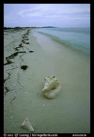 Conch shell and sand beach on Bush Key. Dry Tortugas National Park (color)