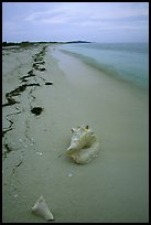 Conch shell and sand beach on Bush Key. Dry Tortugas National Park, Florida, USA.