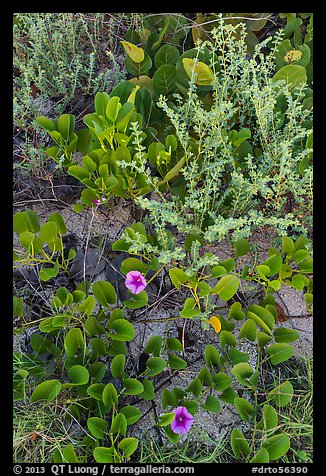 Ground vegetation, Garden Key. Dry Tortugas National Park (color)