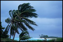 Palm trees windblown on a stormy day. Dry Tortugas National Park, Florida, USA. (color)