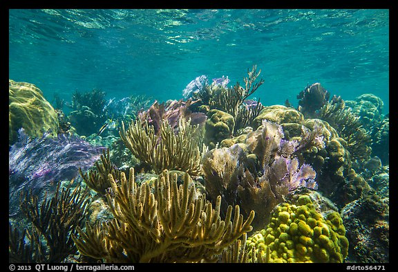Variety of colorful corals, Little Africa reef. Dry Tortugas National Park (color)
