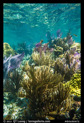 Dense colorful corals, Little Africa reef. Dry Tortugas National Park (color)