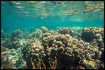 Coral reef, Little Africa, Loggerhead Key. Dry Tortugas National Park, Florida, USA. (color)