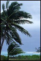Wind in Palm trees. Dry Tortugas National Park ( color)
