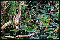 Great Blue Heron. Everglades National Park, Florida, USA. (color)