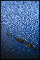 Alligator swimming. Everglades National Park, Florida, USA.