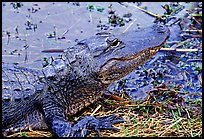 Alligator raising head. Everglades National Park, Florida, USA. (color)