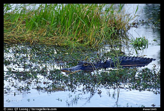 American Alligator in marsh. Everglades National Park (color)