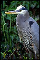 Blue heron. Everglades National Park, Florida, USA. (color)