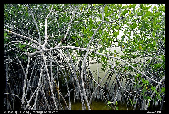 Red mangroves (Rhizophora mangle) on West Lake. Everglades National Park (color)