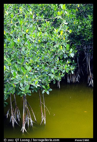 Detail of mangroves shrubs and colored water. Everglades National Park (color)