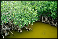 Red Mangroves gives swamp water a red color. Everglades National Park, Florida, USA. (color)