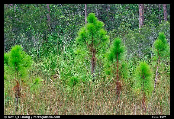 Young pines. Everglades National Park (color)