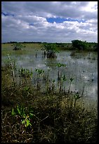 Predominantly freshwater swamp with mangrove shrubs, morning. Everglades National Park, Florida, USA. (color)