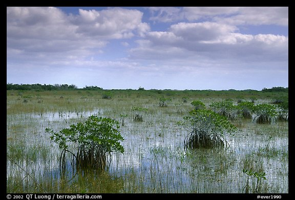 Mixed swamp environment with mangroves, morning. Everglades National Park (color)