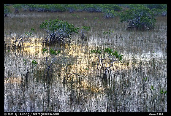 Grasses and Mangroves with sky reflections, sunrise. Everglades National Park (color)