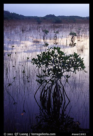Mangroves several miles inland near Parautis pond, sunrise. Everglades National Park (color)