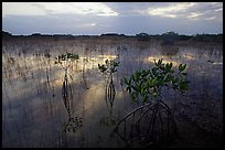 Red Mangroves (scientific name: Rhizophora mangle) at sunrise. Everglades National Park, Florida, USA. (color)