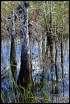 Cypress (Taxodium ascendens) and sawgrass (Cladium jamaicense), morning. Everglades National Park, Florida, USA.