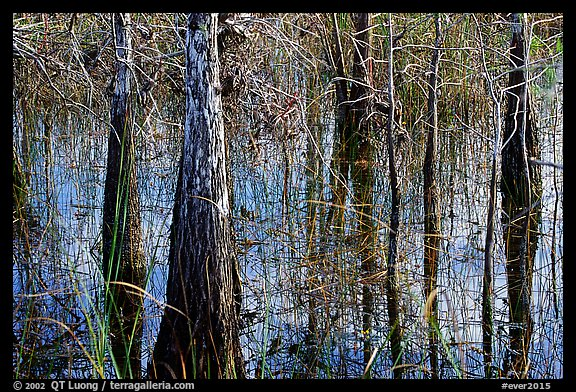 Cypress and sawgrass close-up near Pa-hay-okee, morning. Everglades National Park (color)