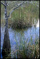Swamp with cypress and sawgrass  near Pa-hay-okee, morning. Everglades National Park, Florida, USA.