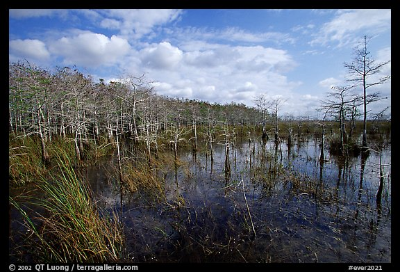 Cypress dome. Everglades National Park (color)