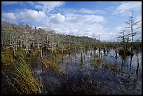 Cypress dome. Everglades National Park, Florida, USA.