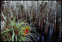 Bromeliad and cypress inside a dome. Everglades National Park, Florida, USA.