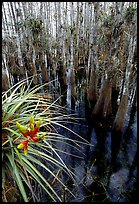 Cypress dome with bromeliad and cypress trees. Everglades National Park, Florida, USA. (color)