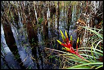 Bromeliad and bald cypress inside a dome. Everglades National Park, Florida, USA. (color)