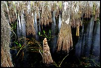 Cypress knees and trunks. Everglades National Park, Florida, USA. (color)