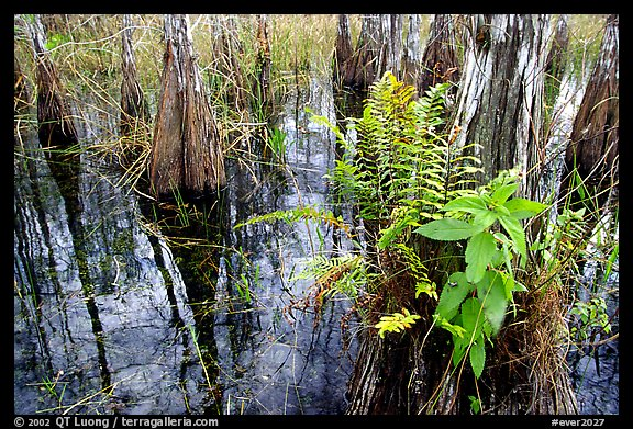 Swamp Ferns (Blechnum serrulatum) on cypress. Everglades National Park (color)
